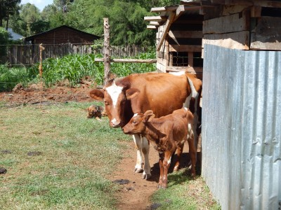 Two of the cows Sumgong has at the house she is building (LRC Photo)